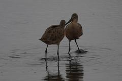 Dueling Godwits-IMG_0304-PA Baylands-crop (gimlack) Tags: birds marbledgodwit paloaltocalifornia paloaltobaylands limosafedoa 100400 featheryfriday vogonpoetry