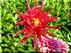 Dália Vermelha (AvóQuéu) Tags: dália mywinners abigfave natureselegantshots mimamorflores auniverseofflowers florespicnik