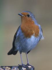 Birnam Robin (Jacqui Herrington:) Tags: bird nature robin erithacusrubecula wildlife perthshire birnam digitalcameraclub erigmore