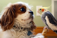 Friends stick together (Amanda Laurn) Tags: friends dog cute bird happy pretty cavalier cockatiel simple bestfriends kingcharles