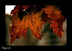 Norfolk Maple (Free 2 Be) Tags: autumn tree fall leaves maple nikon d300 15challengeswinner thechallengegame challengegamewinner beautifulworldchallenges