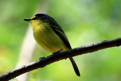 Teque-teque, Yellow-lored Tody-flycatcher (Todirostrum poliocephalum) (claudio.marcio2) Tags: bird nature natureza pssaro soe birdwatcher allyouneedislove blueribbonwinner supershot florayfauna wingedwonders mywinners abigfave shieldofexcellence avianexcellence excellenceinavianphotography citritgroup thenaturegroup brilliant~eye~jewel yellowloredtodyflycatcher todirostrumpoliocephalum theworldsbestnaturewildlifeandmacrophotography betterthangood everydayissunday theperfectphotographer tequeteque goldstaraward rubyphotographer salveanatureza theenchantedcarousel worldnaturewildlifecloseup planetaterraeseusanimaisincrveis thewonderfulworldofbirds naturegreenstar mineirosdecorao newenvyofflickr naturesscreations