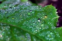 rugiada - dew (luporosso) Tags: autumn naturaleza verde green nature foglie drops nikon natura falls dew autunno rugiada gocce d60 naturalmente nikond60 abigfave goldstaraward artedellafoto