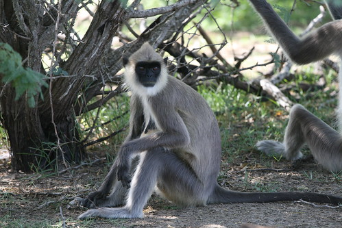 Semnopithecus priam (Tufted Gray Langur)