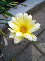 (Lasa Roberta Trojaike) Tags: white flower nature yellow branco natureza amarelo weiss glaub