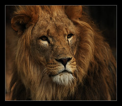 lion portrait (felt_tip_felon) Tags: feline leo lion whiskers bigcats mane pantheraleo specanimal wildlifeheritagefoundation whf theunforgettablepictures overtheshot vosplusbellesphotos flickrbigcats