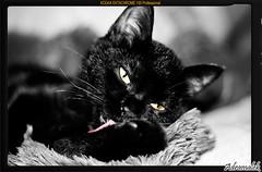 Romilla lengua (Adramalek) Tags: black roma cat canon ojos gato lengua devil negativo negra greyscale demonio borde 400d