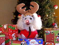 "Gigio the Red Nosed Reindeer ""I WISH YOU A MERRY CHRISTMAS"" (THe cUriOUs OYsTEr) Tags: christmas red dog pets white tree cute love blanco french reindeer toy arbol nose happy navidad holidays december mini stuart perro gift poodle amadeus rudolph merry reno mascota regalo diciembre gigio bocanegra goldstaraward"
