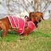 ダックスフンド:Pink Sweater