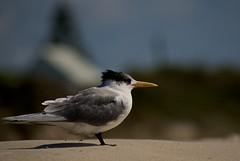 On vigil (Bill Stickers -c) Tags: beach birds delete10 delete5 delete2 sand delete6 delete7 delete8 delete3 delete delete4 vigil