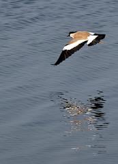 River Lapwing (nurur) Tags: bird river dam lapwing bangladesh feni muhuri riverlapwing nurur muhuridam muhuririver