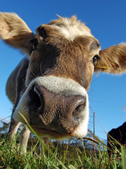 Grass-eye View (tj.blackwell) Tags: england grass animals countryside cow cattle farm yorkshire dairy calf herd bovine calves impressedbeauty