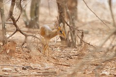 Guenther's Dikdik (Madoqua guentheri) (piazzi1969) Tags: wildlife deer ethiopia mammals guenthersdikdik dikdiks madoquaguentheri negele
