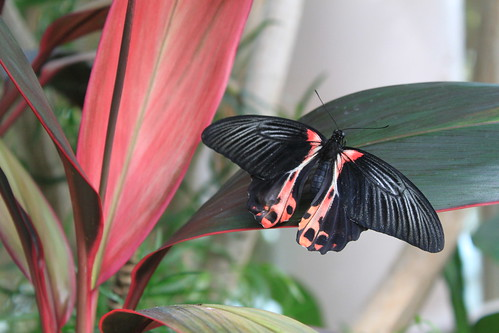 Seattle - Pacific Science Center - Pink and Black Butterfly on Leaf (Off Center)