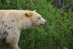Kermode - Canada - Osos / Bears (Galeon Fotografia) Tags: bear canada oso bjrn canad br ours kanada  spiritbear   kermode   galeonfotografia