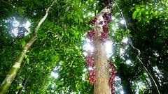 Liane mit Frchten I (Luiz Edvardo) Tags: red plants plant rot fruits rouge flora rainforest pflanze pflanzen malaysia langkawi rosso trauben frchte liane regenwald langkawiisland