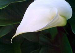 calla quiet (dmixo6) Tags: flowers summer beauty garden calla dugg dmixo6