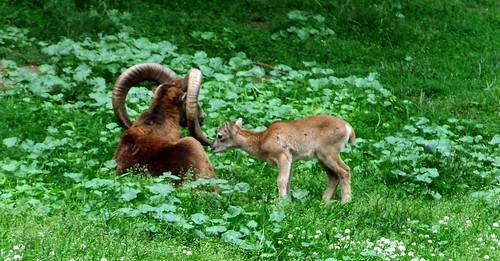 high park goats