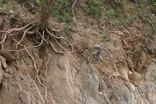 Eritrean vervet monkey