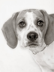 Mighty Morpheus (4) (Piotr Organa) Tags: dog pet toronto canada cute beagle animal puppy adorable bulldog bugle thelittledoglaughed aplusphoto pet500