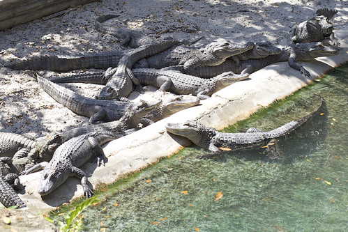 Pile of Gators