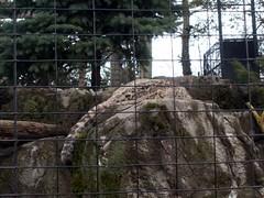 RGZ - Snow Leopard (fkalltheway) Tags: leopard snowleopard unciauncia rosamondgiffordzoo pantherauncia wildlifetrail fkalltheway