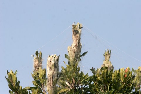 social spiders nest
