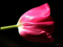 Pink pop.. (Mary Trebilco) Tags: flowers macro photoshop tulips picasa handheld onblack pinktulip 12xzoom canonpowershots3is ortoneffect
