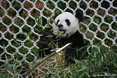 Le Le (kuku4pandas) Tags: china giant zoo memphis bears endangered lele pandas memphiszoo giantpandas