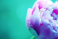 {love} (*Peanut (Lauren)) Tags: pink blue flower green peony eecummings frommygarden hbw pinkpeony notarose myfavecummingspoem lookleonp bokehwednesdayagain