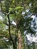 96.11.16竹崎鄉光華村茄苳風景區內的茄苳老樹DSCN3216