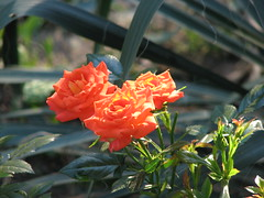 more of the orange roses (cdq3) Tags: flowers roses outdoors solar photo power tennessee natuer photonow
