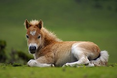 Dartmoor Pony. (Andrew Head) Tags: uk summer england horse animal mammal nationalpark unitedkingdom britain pony devon gb moor dartmoor devonshire moorland westcountry foal dartmoorpony dartmoornationalpark meldon goldstaraward