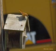 Construction Vehicle Wren with Insect Brenda Jones