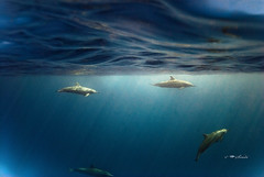 Blue world (sindhi) Tags: spinner spinnerdolphin blue maldives snorkling open water surface waves light pods stenellalongirostris theperfectphotographer nikond80 ikelite ocean openwater freewill liberty choice freedom naturesfinest bec bfgreatesthits mohamedseeneen mohamedseeneengmailcomspinnerdolphin maldivesunwaterimages mohamedseeneengmailcom underwater imagesformaldives maldivesphotos maldivesunderwaterphotography photography nikon reef coral