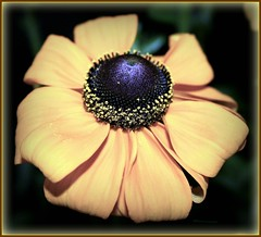 Golden crown...(^-^)V (Queenscents) Tags: light black flower macro green nature yellow japan petals flickr purple petal dome plantae mygarden rudbeckia asteraceae blackeyedsusan yellowdaisy browneyedsusan fpc gloriosadaisy magnoliophyta magnoliopsida asterales brownbetty yellowoxeyedaisy queenscents blackiehead browndaisy theperfectphotographer goldenjerusalem poorlanddaisy rhirta