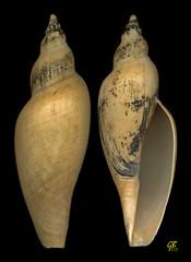 Fulgoraria formosana Azuma, 1967 - Taiwan (giubit) Tags: taiwan concha gastropoda conchas conchiglie conchiglia coquilles coquille schale schalen cascara cascaras volutidae   fulgorariaformosana