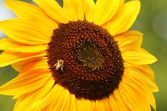IMG_3998 (Blackavar Lion) Tags: insect bokeh bees sunflowers abeja insekt tournesol abeille girasol bij insecte biene  sonnenblume zonnebloem insecto hymenoptera       apoidea   canonrebelxti  anthophila  2be2176f59cfac7c3f99b44a73b29c9b