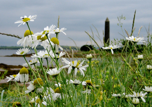Daisies and the Pencil at Largs