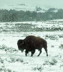 """Snow Bison""  DSC_0177 (kluehirschSnowpine) Tags: snow nature weather animal fauna spring buffalo yellowstonenationalpark wildanimal bison yellowstonearea"