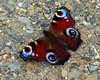 Peacock Butterfly (For Roisin) (murtphillips) Tags: dog mountains reflection walk harvest august hills fields friday 2008 wexford 15th brideswell digitalcameraclub buzznbugz shrule goldstaraward askamore martinphillips