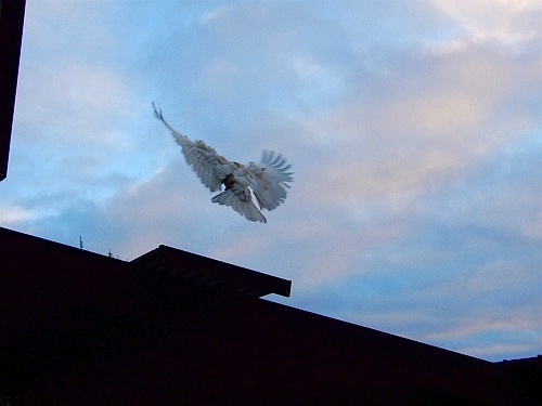 cockatoo flying at sunrise