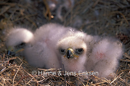 Golden Eagles Chicks