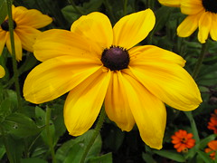 Sunshine on my Shoulder (lovemygarden2) Tags: beauty yellow daisy blackeyedsusan