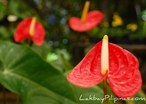 Anthurium at Malagos Garden Resort