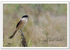 Long-tailed Shrike (Lanius schach) (Z.Faisal) Tags: china travel black bird dark nikon tour beak feathers aves east wuhan nikkor avian bipedal eastlake faisal shrike d300 zamir schach longtailed lanius laniusschach longtailedshrike pakhi naturestudy endothermic rufousbackedshrike rufousbacked zamiruddin zamiruddinfaisal zfaisal
