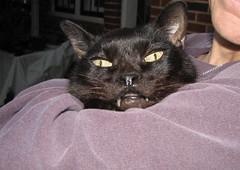 This is Bela (rootcrop54) Tags: rescue cat blackcat chat gato chan neko fangs bela 猫 macska gatto kot nekochan kočka kedi chatte katt kissa köttur mačka kucing кошка 고양이 katė γάτα maček kaķis cc100 gorbe kissablekat pisică