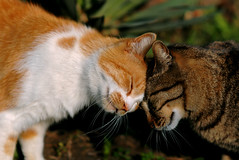 cat_0029 (I love you back.....but...) (PyunpyunMaru) Tags: cat  straycats streetcat  mywinners abigfave bestofcats anawesomeshot catmoments 5prettykittycommentspartiii