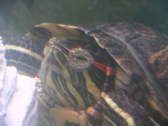 Arthur the Turtle