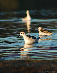 Phalaropes in fading light (Pat Ulrich) Tags: california birds d50 wildlife birding nikond50 marinheadlands pacificcoast shorebirds shorebird redneckedphalarope phalaropuslobatus phalaropes rodeolagoon ©patulrich